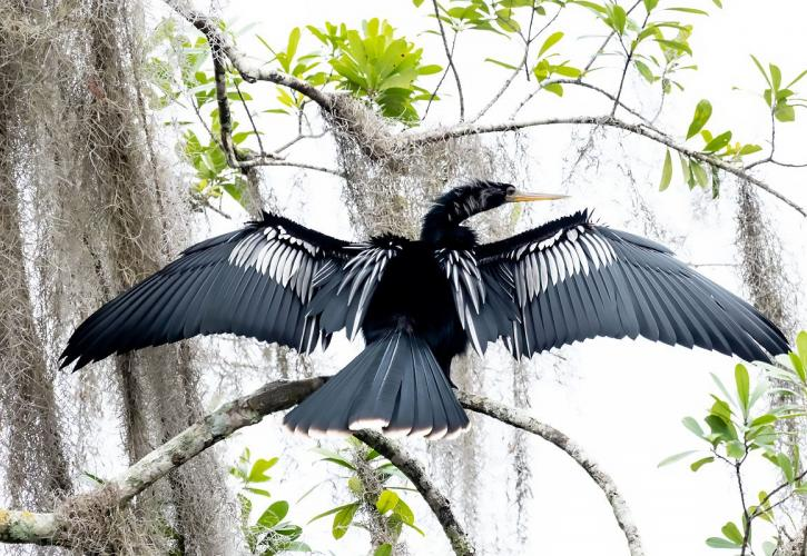 Anhinga sits on a branch with winds outstretched to dry off.