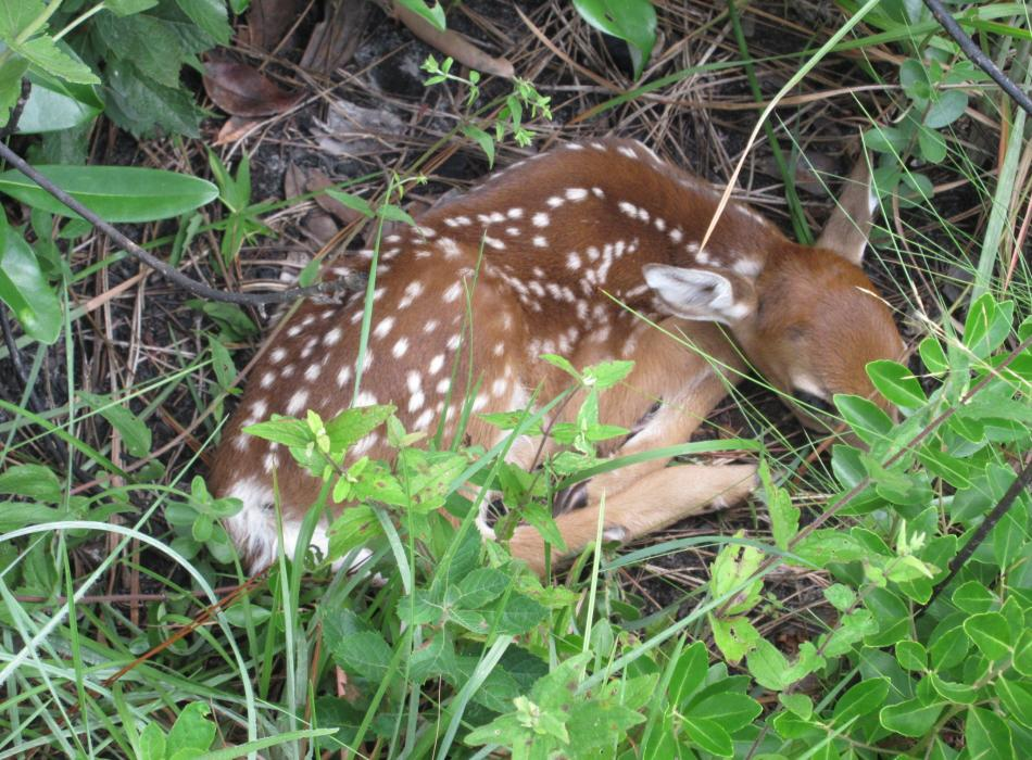 Spotted fawn curled up asleep in the grass.
